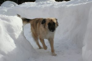 Dog safety in winter. Keep them contained.